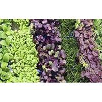 Как вырастить зелень и микрогрин у себя на кухне?